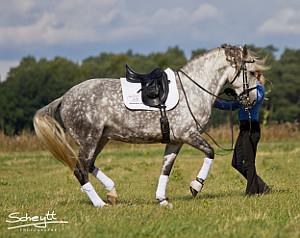 Umstellung spanischer Pferde